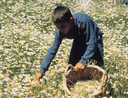 Collecting chamomile for vegetable dyeing.  Ayvacik 1981